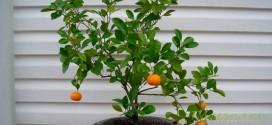 Как вырастить апельсин в домашних условиях?