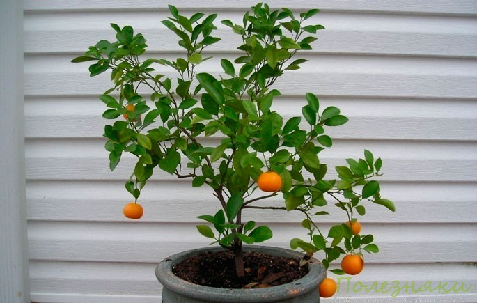 Как вырастить апельсин в домашних условиях фото