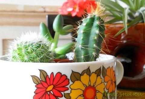 Советы по уходу за кактусом