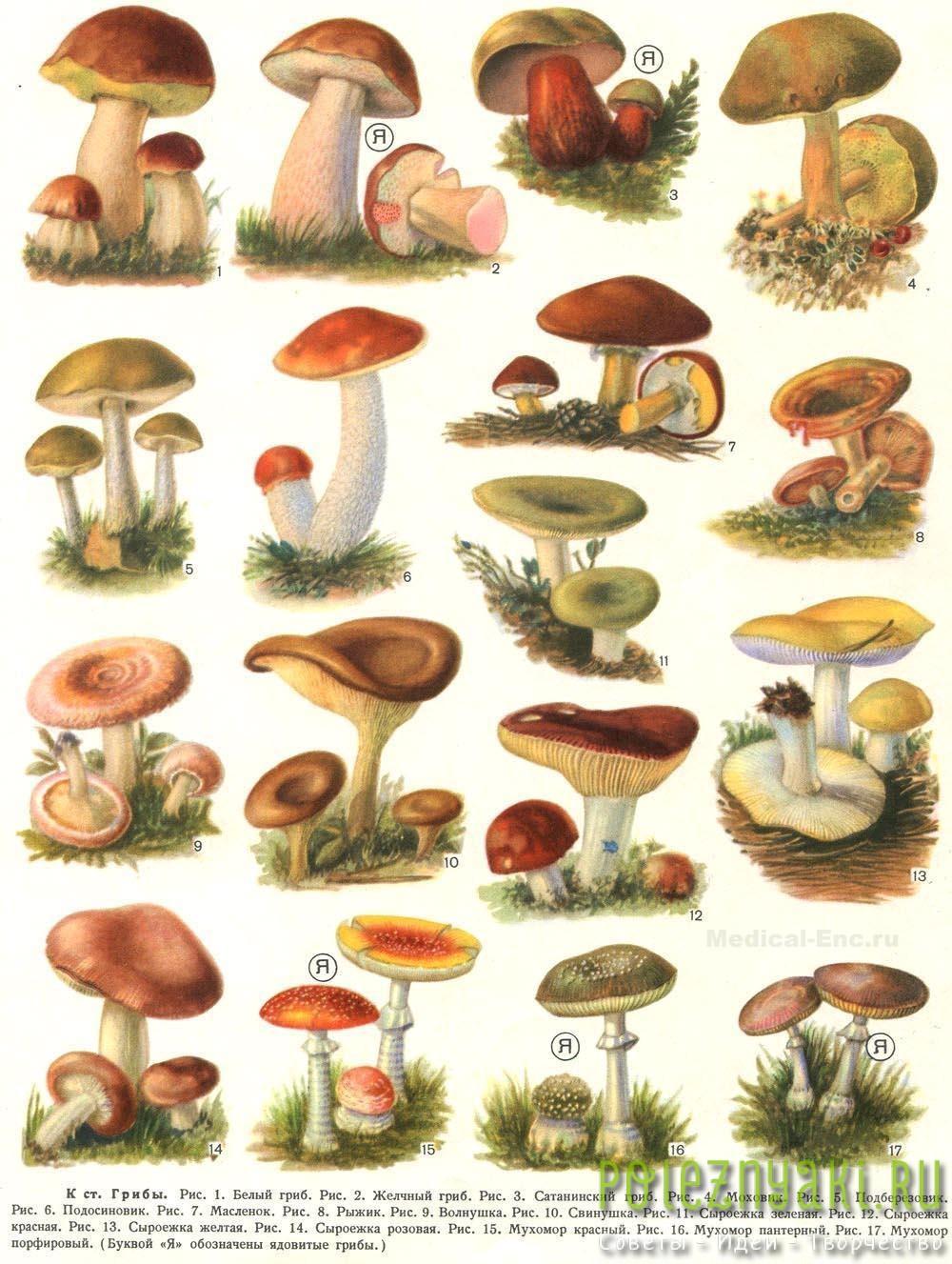 Как не перепутать съедобный гриб с ядовитым