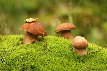 грибы растут семьями