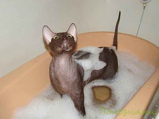 кошки породы Сфинкс купаются