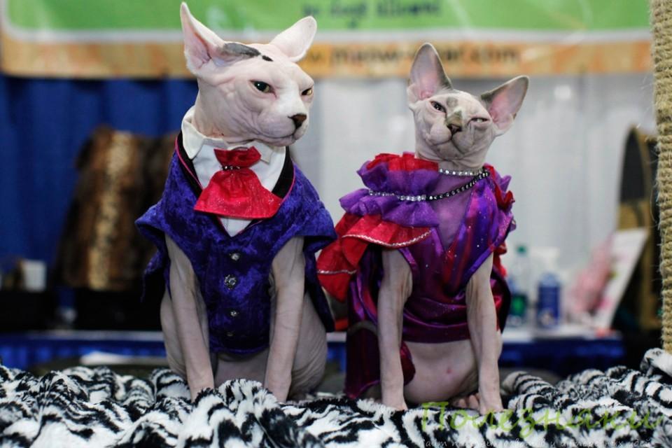 кошки породы Сфинкс в одежде