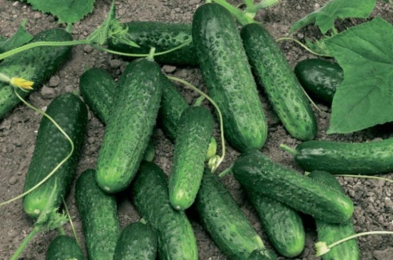 От каких сортов томата и огурцов, я откажусь, безвкусные, не урожайные и не устойчивые ко многим болезням и вредителям