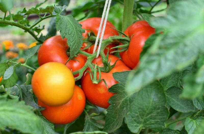 Вкусные сорта томатов, которые я использую для консервирования и засолки