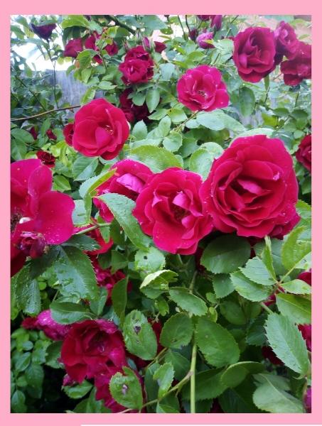 Как вырастить плетистую розу и добиться обильного цветения