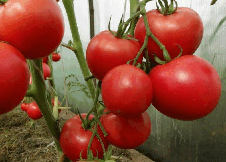Сладкие, сахарные, крупные сорта томатов, которые заслуживают у огородников особого внимания