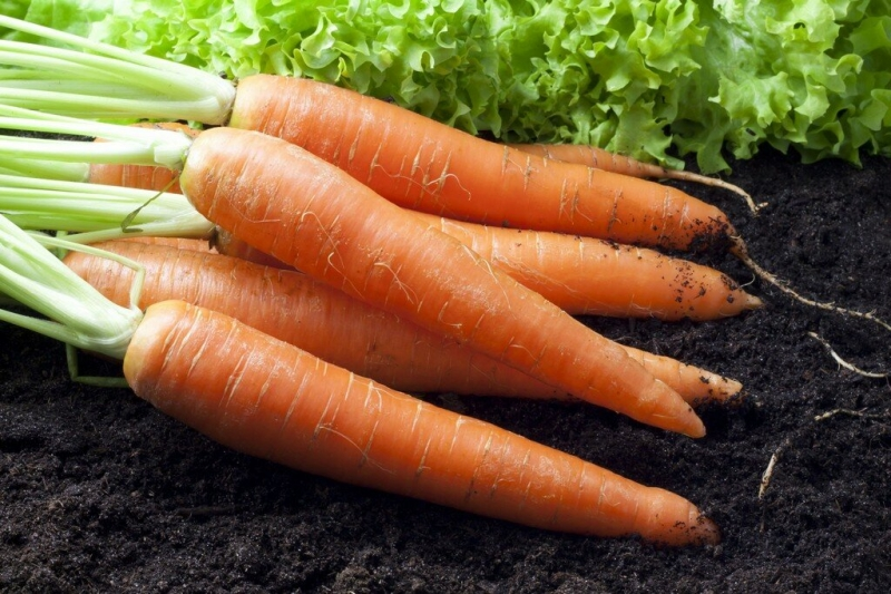 Лучшие из лучших сорта моркови, которые обязательно должны быть на грядке в следующем году