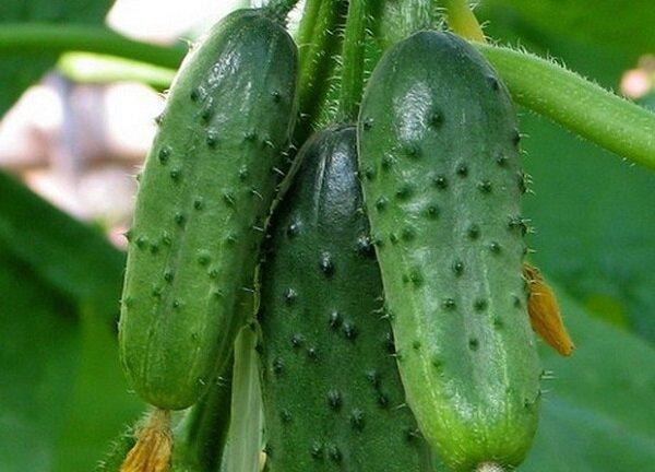 Сорта огурцов, которые обладают теневыносливостью и холодостойкостью