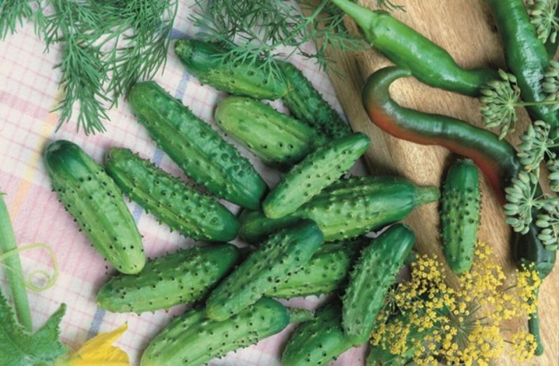 Эти сорта огурцов частые гости на моём огороде