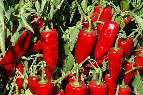 Именно, эти вкусные, урожайные сорта сладкого болгарского перца, я посажу на следующий год