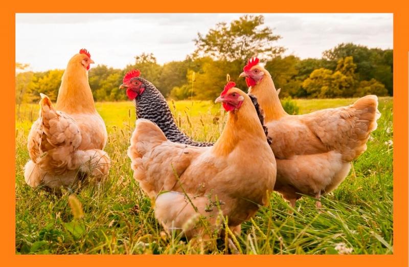 Как с выгодой держать куриц летом на даче