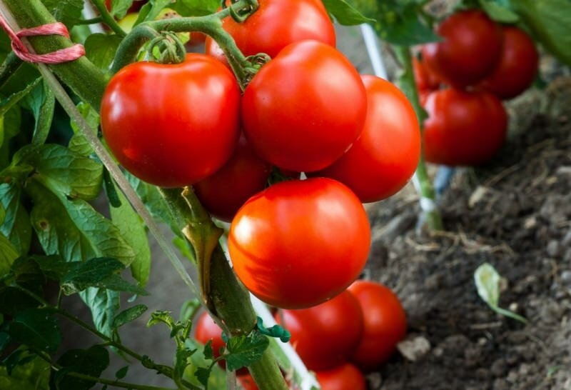 Сорта томатов для раннего урожая томатов без больших усилий и при минимальном уходе