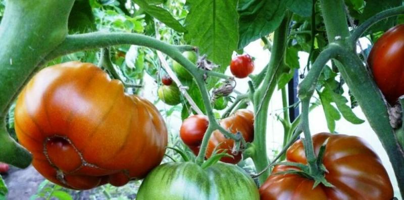 Супер томат. Не томат, а сочный фрукт