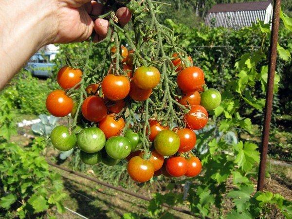 Сорта томатов, которые долго хранятся после сбора урожая, без изменения вкусовых качеств