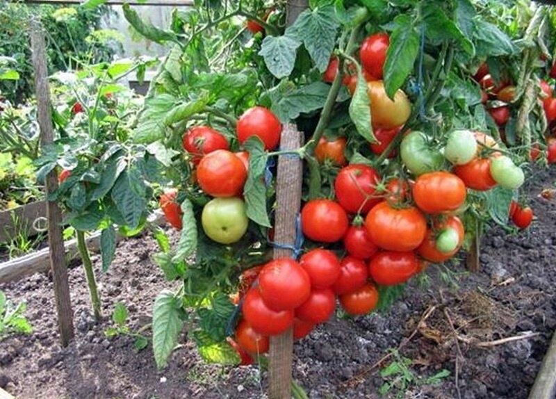 Мое мнение: отличные сорта безрассадных томатов