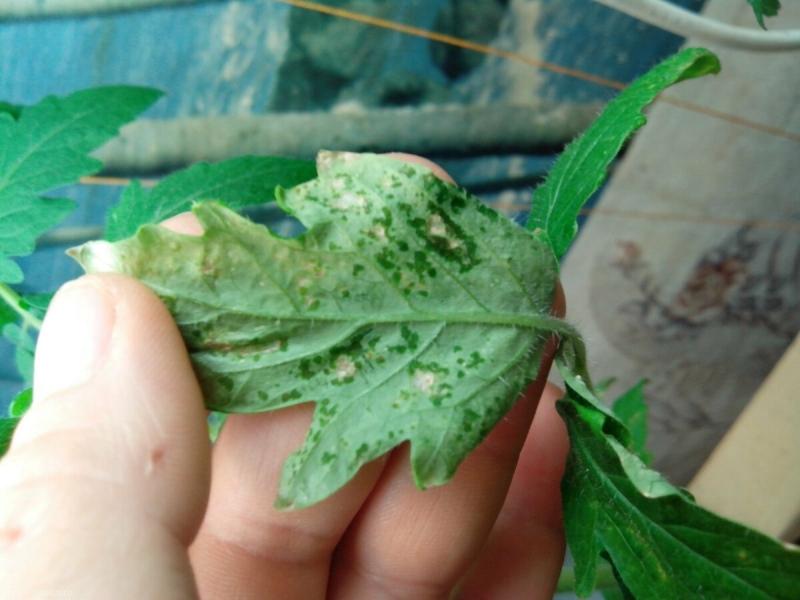 Как с помощью спичек спасла погибающую рассаду томатов от мошек и личинок, мой проверенный способ