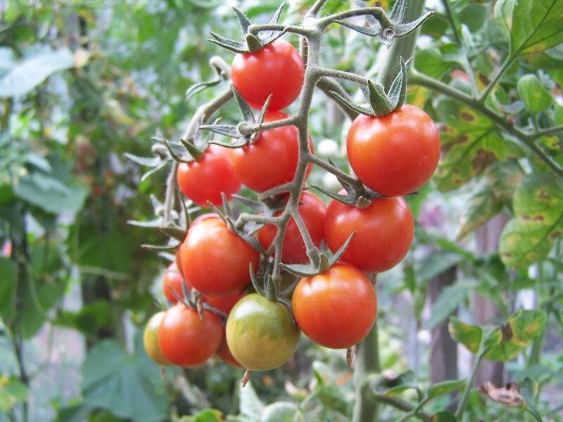 Посмотрев на такие красивые, мясистые томаты, так и хочется их съесть