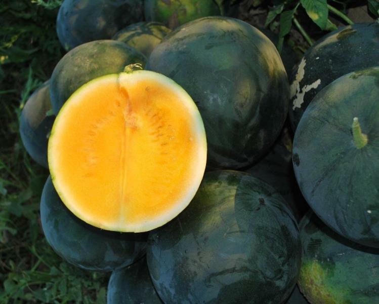Вкусные арбузы цвета солнца. Выращивание. Мой личный опыт