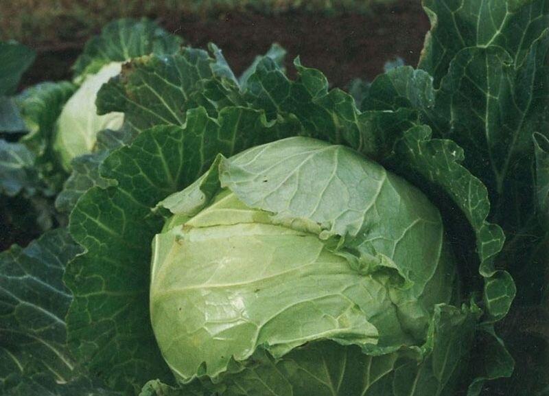 Почему я эти сорта белокочанной капусты считаю самыми урожайными, вкусными и они отлично подходят для квашения и засолки?