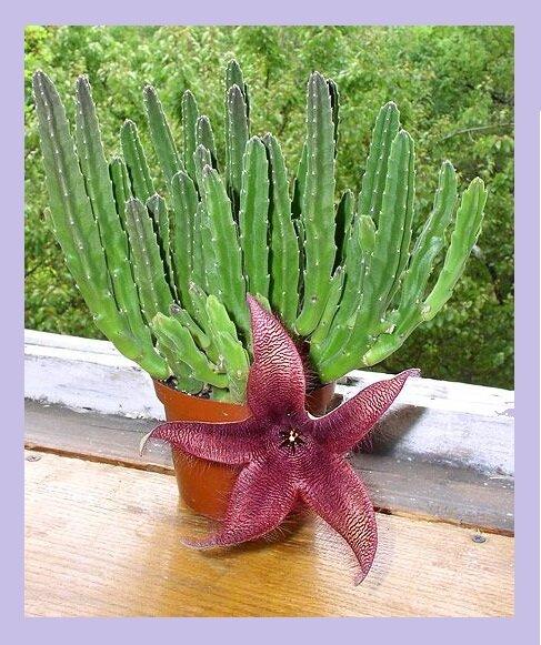 Комнатный цветок с самым отвратительным запахом, он есть почти у всех, но цветет редко