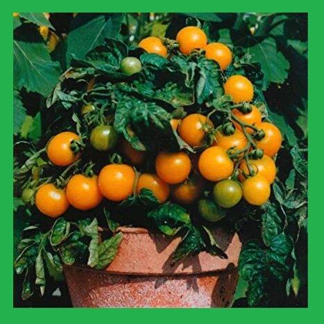 Пора сеять комнатные помидоры