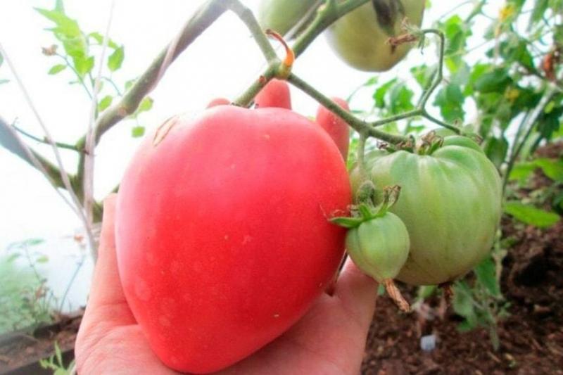 Крупный, мясистый, сахаристый, устойчив к заболеваниям, одним словом мой томат