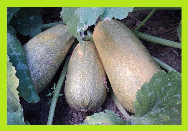 Как к майским праздникам вырастить кабачки и какой сорт подойдет для этого