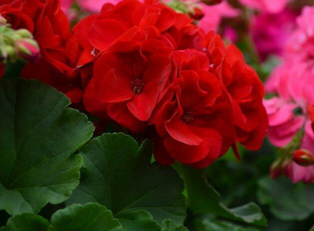 Ржаное удобрение для герани: Теперь обильно цветет и размножается