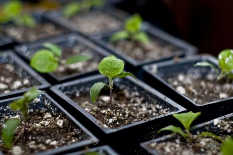 Каждый год стараюсь, как можно раньше высевать эти семена овощей на рассаду в январе месяце и летом ни сколь об этом не жалею