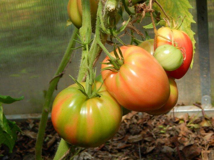Низкорослые, сладкие, сочные сорта томатов, есть которых одно удовольствие