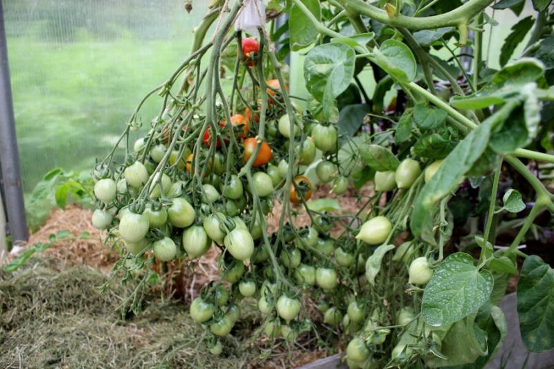 Сорта томатов с большими кистями, которые можно выращивать в любых условиях