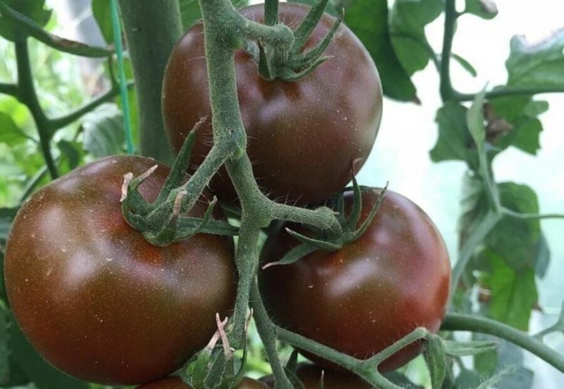 Эти сорта, настоящие подарки любителям томатов