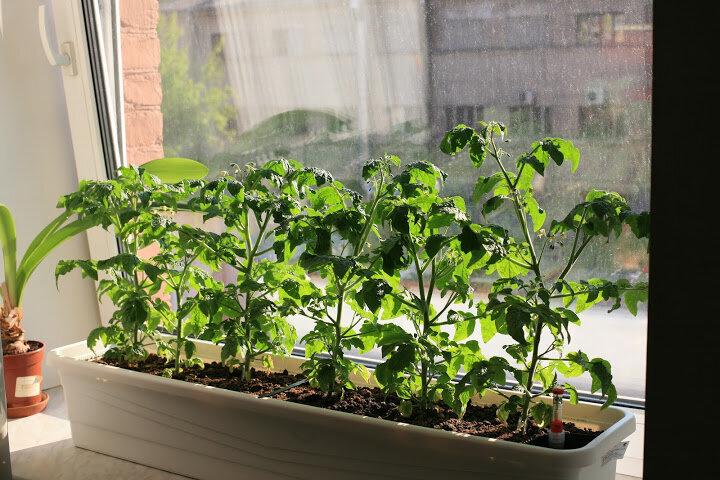 Мои хитрости в выращивании крепкой рассады. В этом деле мелочей не бывает