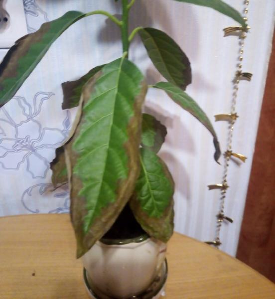 Почему чернеют кончики листьев у комнатных растений и как с этим бороться
