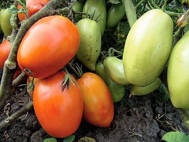 Зачем я каждый год сажаю эти сорта томатов на рассаду в январе