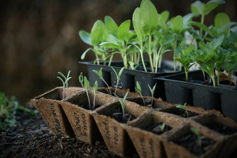 Семена всходят почти 100%. Рассказываю, как я выращиваю крепкую рассаду