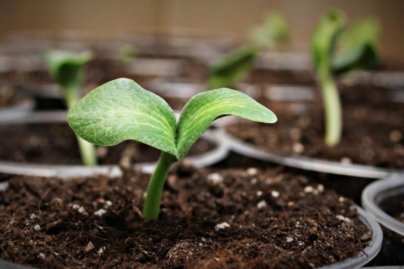 Всхожесть семян вырастает до 99%, рассада крепчает: Жидкое удобрение для полива я готовлю дома бесплатно