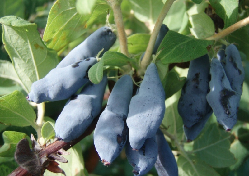 Сорта жимолости с крупными плодами
