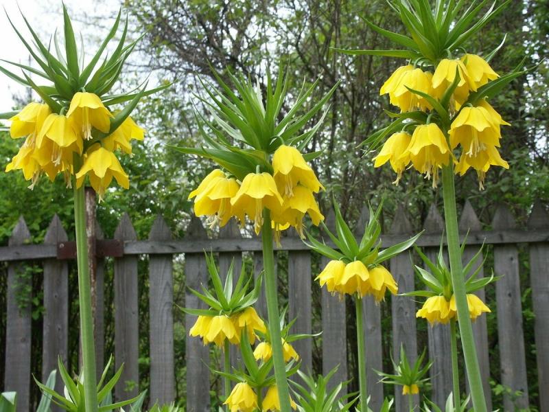 Цветок от кротов на участке